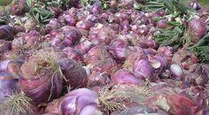 CIPOLLA DI BREME Particolare varietà di cipolla che viene coltivata attorno a Breme, provincia di Pavia. Le tecniche di coltivazione sono ancora molto simili a quelle dell'antichità, ovvero le sementi sono preparate scegliendo a mano le cipolle migliori da mandare in foritura.