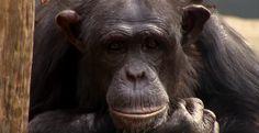 Chimbuka (1995-2011), Taronga Zoo, https://www.youtube.com/watch?v=DtNNfUmCWI4
