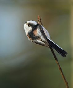 Vogel foto: Aegithalos caudatus / Staartmees / Long-tailed Tit