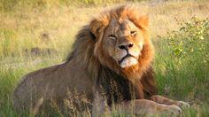 O leão Cecil, que foi morto por dentista americano em parque do Zimbábue - Daughter#3/Wikimedia Commons