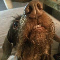 Crazy Wiener Look! #teeth #worshond #wienerdog #dachshund #doxie #peloduro #teckel #dwegteckel #dachshundonly #instadog #dogs #smalldogs #perrosalchicha  Photo By: rigarque  http://bit.ly/teacupdogshq