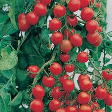 Johnson Seeds Tomato Gardeners Delight