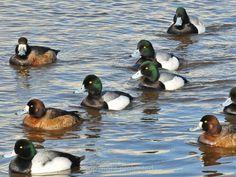 Greater Scaup flock Duck Species, Duck Hunting, Birds Of Prey, Wildlife, Swans, Rifles, Ducks, Utah, Colorado