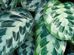 The leaves of this plant tend to fold up as if it's praying, hence the name, the prayer plant.