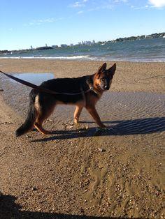 German shepherd. Boston