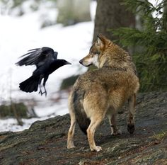 Raven and Wolf- Raven will often call out to wolves alerting them of nearby game. The Ravens know they can also feed on the downed prey. Wolves and Ravens have also been observed playing together. They are both every intelligent and I've heard some pretty funny and surprising stories of what they come up with. ...Carol