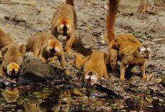 Red-fronted brown lemurs drinking, Eulemur rufus, Western Madagascar