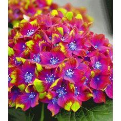 Extrem auffällige Neuzüchtung mit spektakulärer, 3-farbiger Blüte. Das Farbspiel reicht von Gelb-grün über Pink-rot und hat zur Krönung noch eine leuchtend blaue Mitte. Ein neuer Favorit für halbschattige Plätze in Ihrem Garten & Kübel. Winterhart bis -15° C