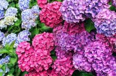 pink hydrangeas to purples... their shades vary! Don't stress over it, it adds depth to your bouquet!