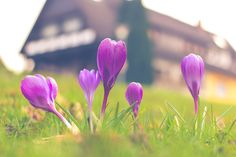 https://flic.kr/p/DKQK5G | Lonely Crocus | The only lonely crocus on a huge grassland.