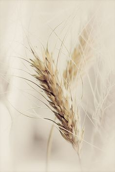 country wheat