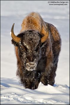 Bison in Snow#Repin By:Pinterest++ for iPad#