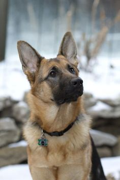 Gorgeous German shepard. #GermanShepherd