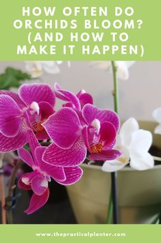 How Often Do Orchids Bloom? (And How to Make It Happen) - The Practical Planter Indoor Orchids, Indoor Plants, Pot Plants, Growing Orchids, Growing Plants, House Plant Care, House Plants, Orchid Plant Care, Blooming Orchid