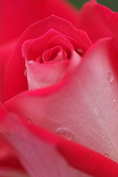 my father grew a rose called Miss Canadahot pink inside and white outside.but the perfume was unforgettable Pretty Roses, Beautiful Roses, Beautiful Gardens, Amazing Flowers, Love Flowers, My Flower, Hot Pink Roses, Red Roses, Horticulture