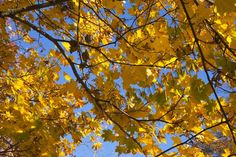 Yellow leaves against a blue sky Yellow Leaves, Sky, Projects, Blue, Heaven, Log Projects, Blue Prints, Heavens