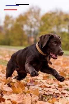 Chocolate Labrador Retriever Dog Is Playing In The Park Labradorretriever In 2020 Chocolate Labrador Retriever Labrador Retriever Dog Labrador Retriever
