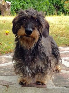 Looks like my Angel! Dachshund Puppies, Weenie Dogs, Dachshund Love, Dogs And Puppies, Fox Terriers, Scottish Terrier, Animals And Pets, Cute Animals, Scruffy Dogs