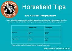 make sure you have the correct temperature in your Horsefield/Russian tortoises housing! see the quick tip with chart Horsefield Tortoise, Tortoise Care, Tortoise House, Russian Tortoise, Young Animal, Tortoises, Little Pets, Months In A Year, Diet Tips