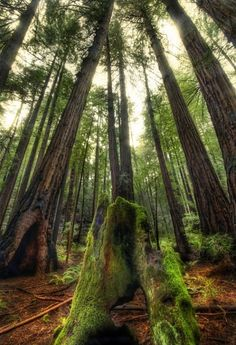 The #giants in #Muir Woods. from #treyratcliff at http://www.StuckInCustoms.com - all images Creative Commons Noncommercial