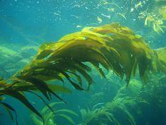 giant_kelp.jpg (700×525)