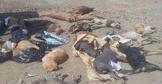 Cañete: Mas de 50 perros fueron envenenados en el distrito de San Antonio! Encuentren a los...