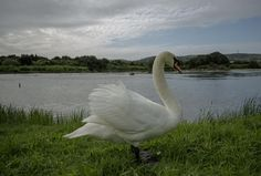 Cisne by José Luis  Pellón on 500px