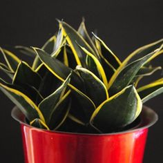 Sansevieria 'Black Star'/Snake plant care Sansevieria Plant, Sansevieria Trifasciata, Indoor Garden, Garden Plants, Indoor Plants, Snake Plant Care, Mother In Law Tongue, Red Geraniums, Succulent Care