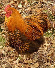 Gold laced Orpington cock in the wood by hardworkinghippy, via Flickr