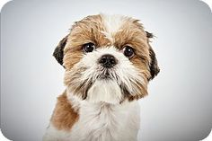 Nelson by Richard Phibbs.  He is a Shih Tzu up for adoption at the Humane Society of New York.