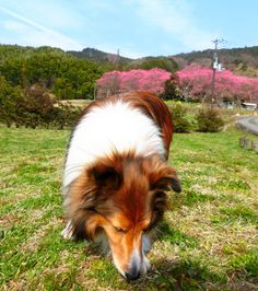 http://ameblo.jp/sheltie-pome-diary/entry-12263245623.html