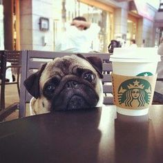 Starbucks coffee pug