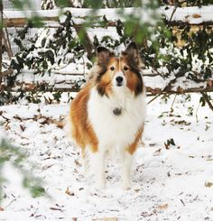 Sheltie in the snow