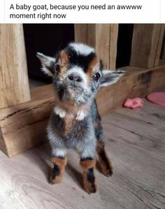 Nothing like a baby goat to make you saw AWWWW and smile. The post Nothing like a baby goat to make you saw AWWWW and smile. Cute Animal Memes, Animal Jokes, Cute Funny Animals, Baby Animals Pictures, Cute Animal Photos, Funny Animal Pictures, Super Cute Animals, Cute Little Animals, Cute Goats