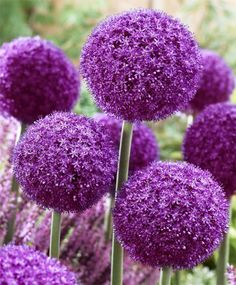 "Allium Ambassador (Ornamental Onion) - An improved, more vigorous and larger form of Allium giganteum, it is has 7' globes comprised of tightly compacted, intense purple florets. Bulb size: 20 cm/up. June/July. 48"". HZ: 5-7. [pic links to John Scheeper's Bulbs - great source]"