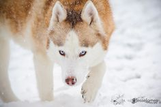 Huskies Playing in the Snow by Jesse James