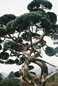 Incredible Bonsai style tree