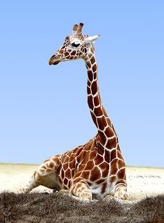 Resting giraffe. For conservation travel to Africa go to www.seethewild.org