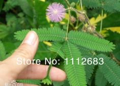 Aliexpress.com: Comprar Diversión mágica plantas de balcón, semillas bashfulgrass, plantas instante se baila, sensores rápidamente, moviéndose rápidamente toque el césped de grano de la semilla fiable proveedores en Flower shop 1