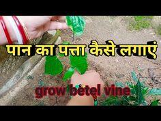 How to grow Betel vine? पान का पत्ता कैसे ग्रो कर सकते हैं कटिंग से - YouTube