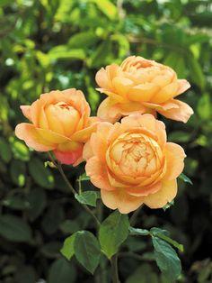 #Lady of Shalott Rose