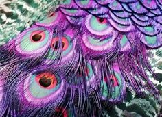 purple peacock feathers <3  Love this!!!