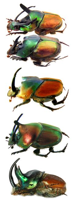 Onthophagus imperator, male and female; Onthophagus pactolus; Onthophagus nigricornis; Onthophagus lanista