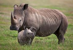 A female white rhino and her calf.  Mweiga, Solio, Kenya  © Nigel Pavitt