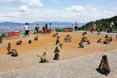 Photos de Monkey Park Iwatayama. Il faut beaucoup monter pour les voir, mais moment très sympa et jolie vue
