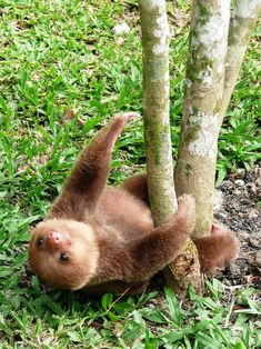 baby sloth just hanging out!