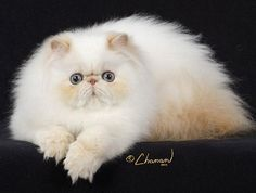 Cream Point Himalayan..I have a Cream Point Kitten :) Hopefully he will grow up to look like HIM!!