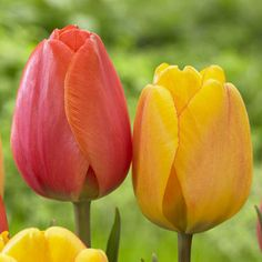 Red, Rose, Orange and Yellow Tulip Darwin Hybrid Blushing Apeldoorn from Longfield Gardens, deer resistant.