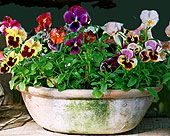 Antique Your Clay Pots And Add Fall Color! Perfect for fall pansies!