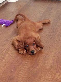 Irish Setter Puppy Georgia // Becoming a Heath